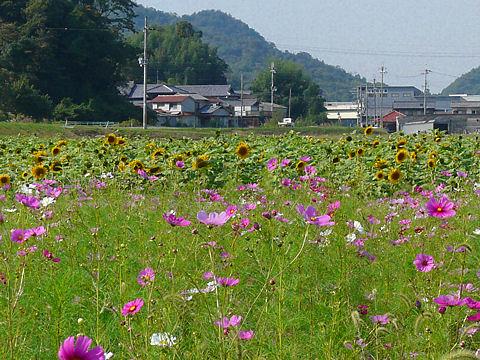 志方コスモス畑