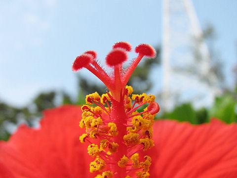 ハイビスカスの花 写真画像