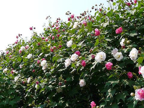 スイフヨウ(酔芙蓉)の花