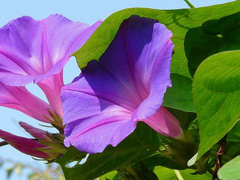 アサガオ(朝顔)の花