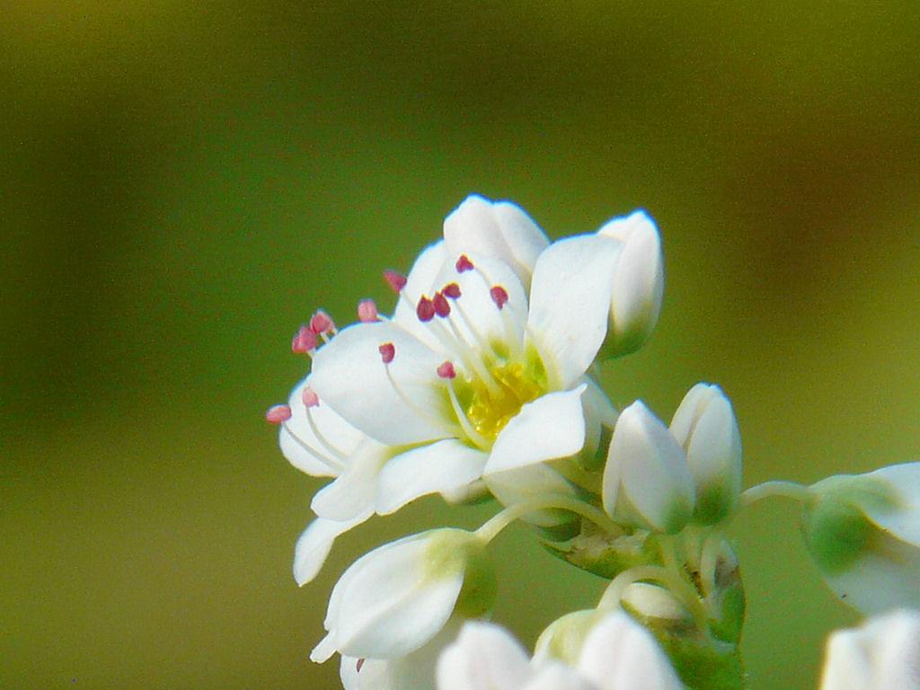 そば畑とそばの花