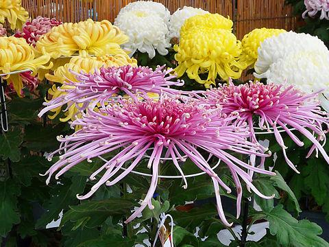 菊花展・菊の花の写真画像