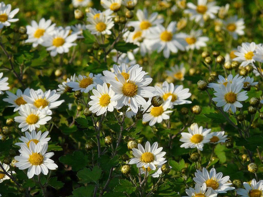 のじぎくの花の壁紙・花の写真画像