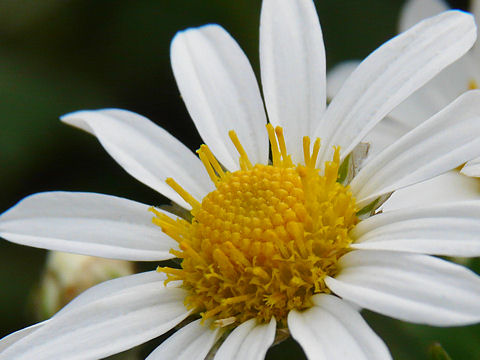 野路菊(ノジギク)