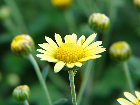 のじぎくの花の写真画像