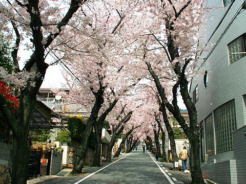 Kobe_sakura_006