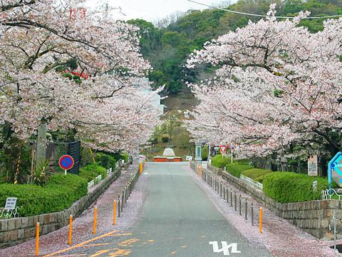 Kobe_sakura_009