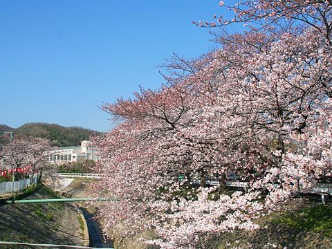 Kobe_sakura_013
