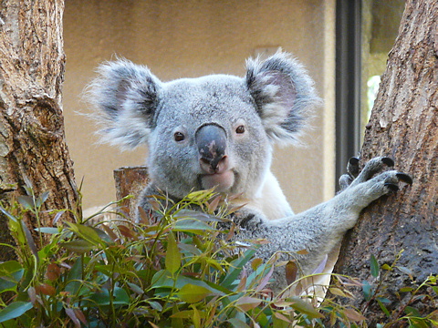 Koala_002