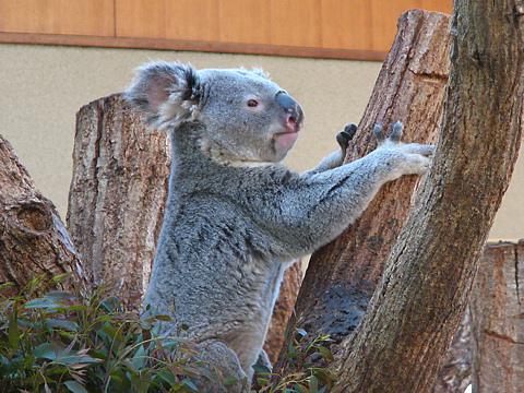 Koala_004
