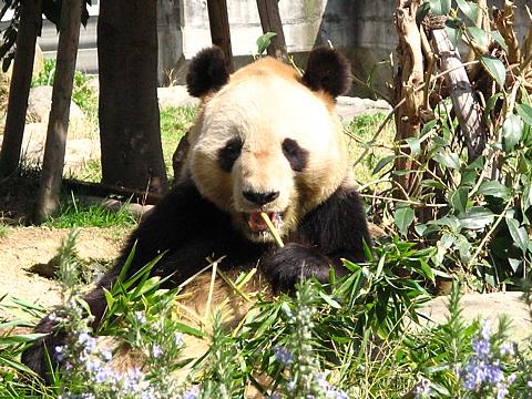 Panda_002