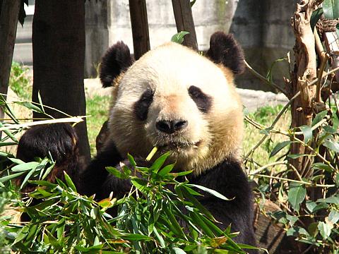 Panda_003