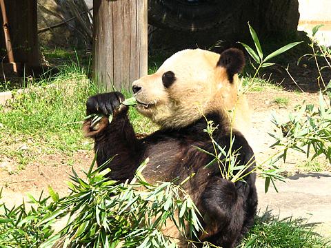 Panda_004