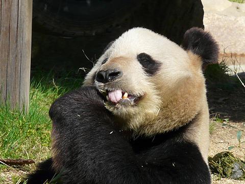 Panda_007