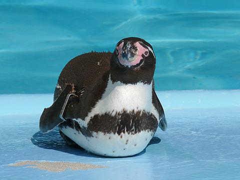 Penguin_001