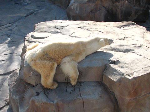 Polarbear_001
