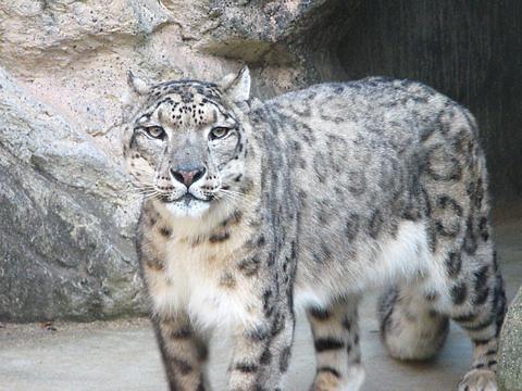 Snowleopard_002