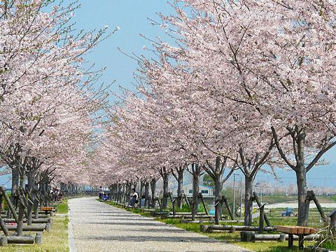 Sakura_002