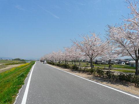 Sakura_004