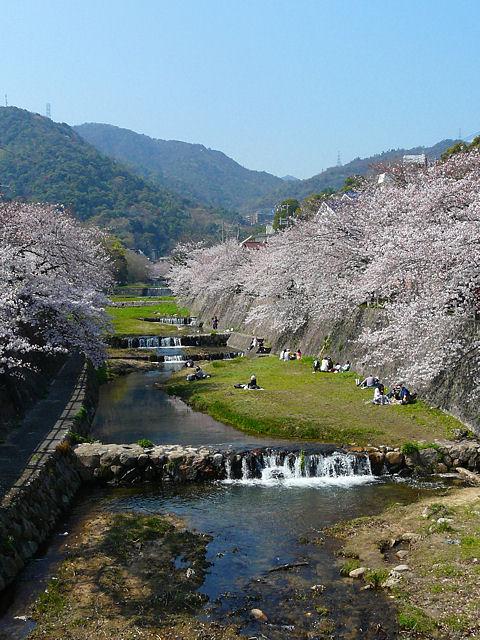 芦屋さくらまつり・芦屋川の桜並木
