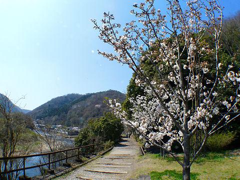 Sakura_003