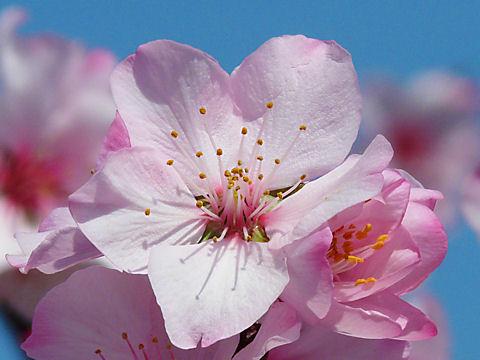 神戸のアーモンドの花
