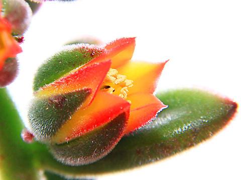 キンコウセイ(錦晃星)の花