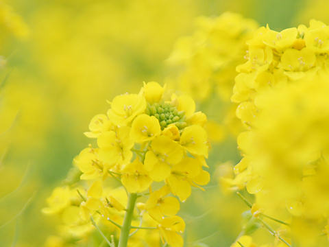 みつ菜の花まつり・たつの市御津町黒崎の菜の花畑