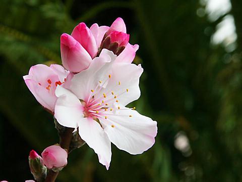 アーモンドの花/東洋ナッツアーモンドフェスティバル