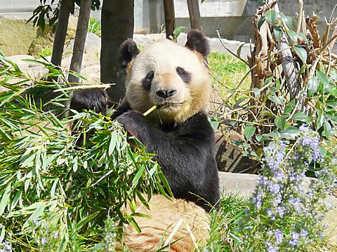 神戸王子動物園のパンダ