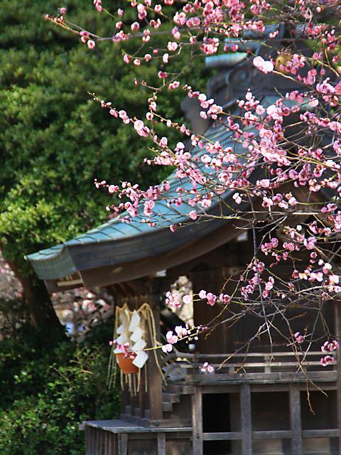 御厨神社の梅