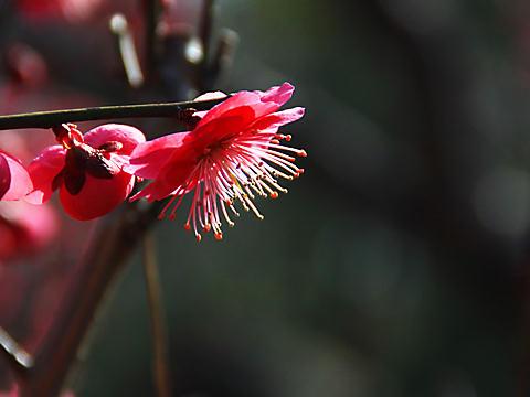 曽根天満宮の梅