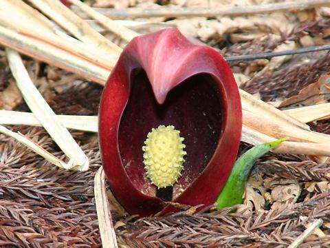 ハチ北の座禅草の花