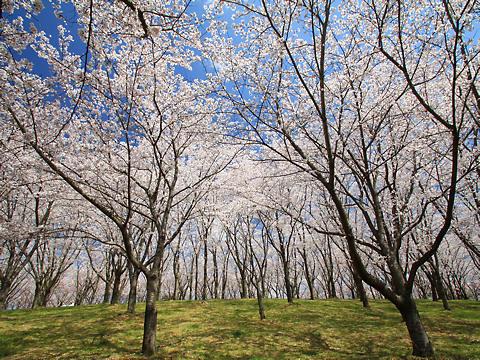 播磨中央公園の桜