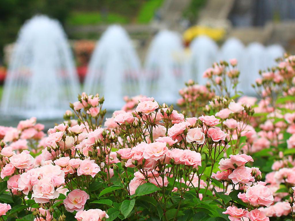 壁紙 バラの花
