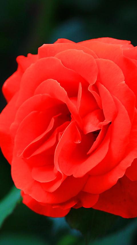バラの花 携帯待受画像 FWVGA+ 480×854ピクセル