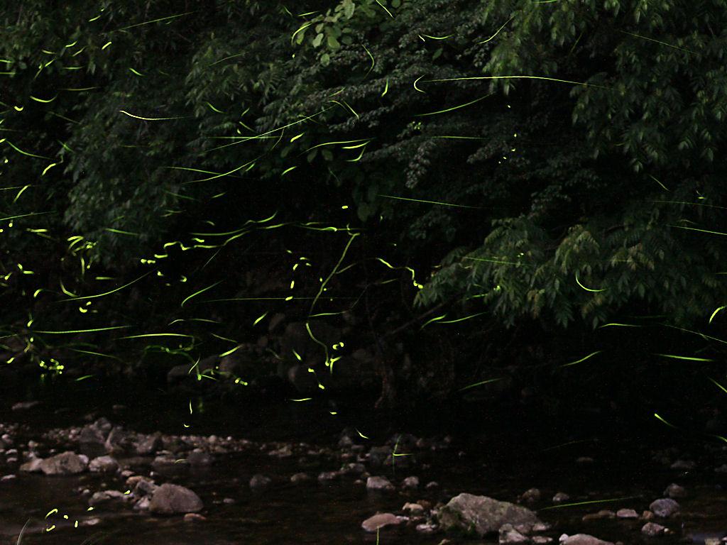 壁紙・ホタルの光跡