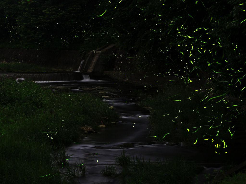 壁紙ホタル西脇中畑工場公園・ホタルの宿