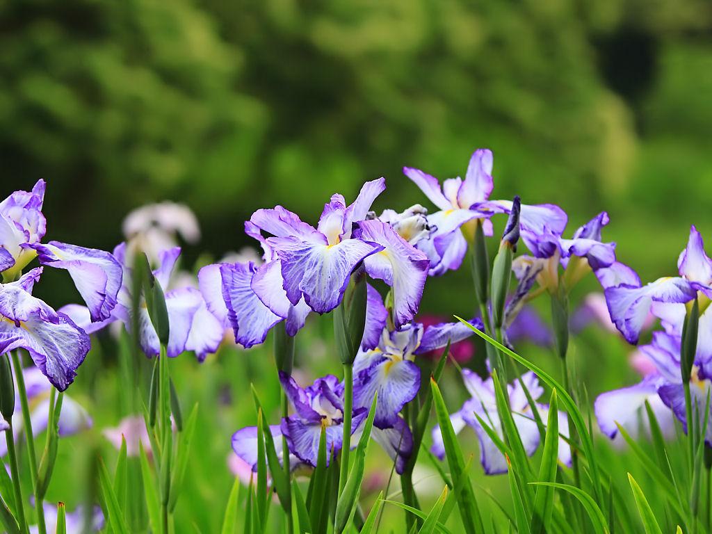 日岡山公園花菖蒲園
