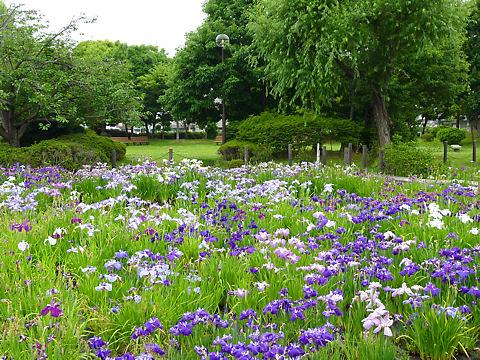 鹿児の庭花菖蒲園