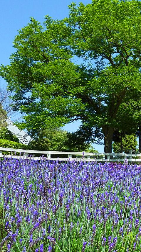 Lavender ラベンダー