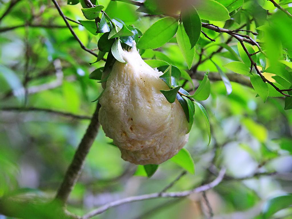 壁紙モリアオガエルの卵