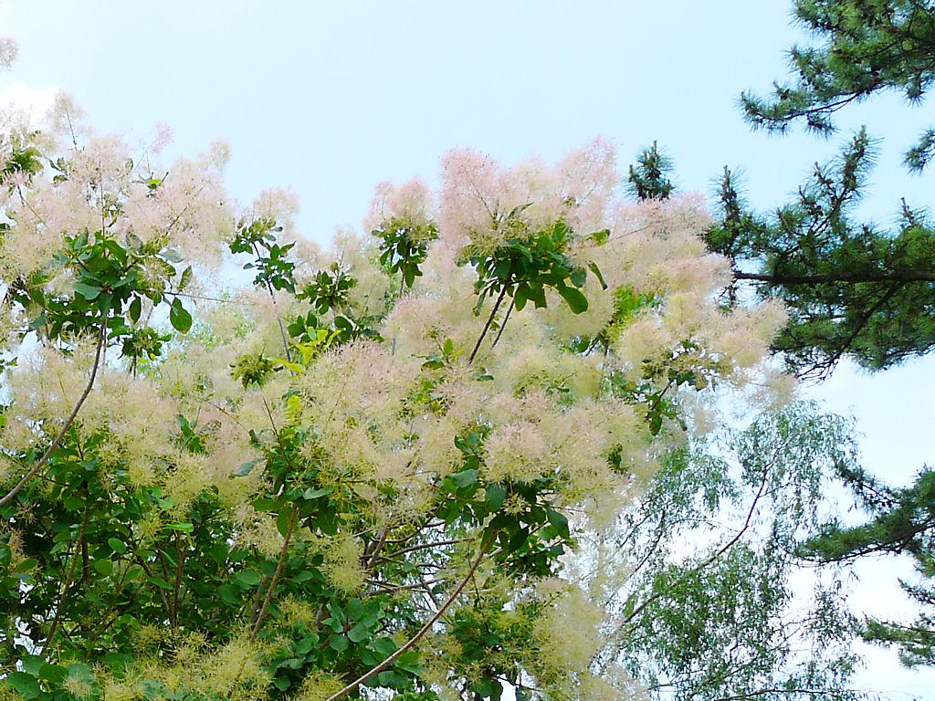 壁紙煙の木 (ケムリノキ)