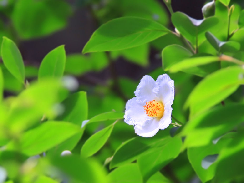 壁紙 夏椿(沙羅)