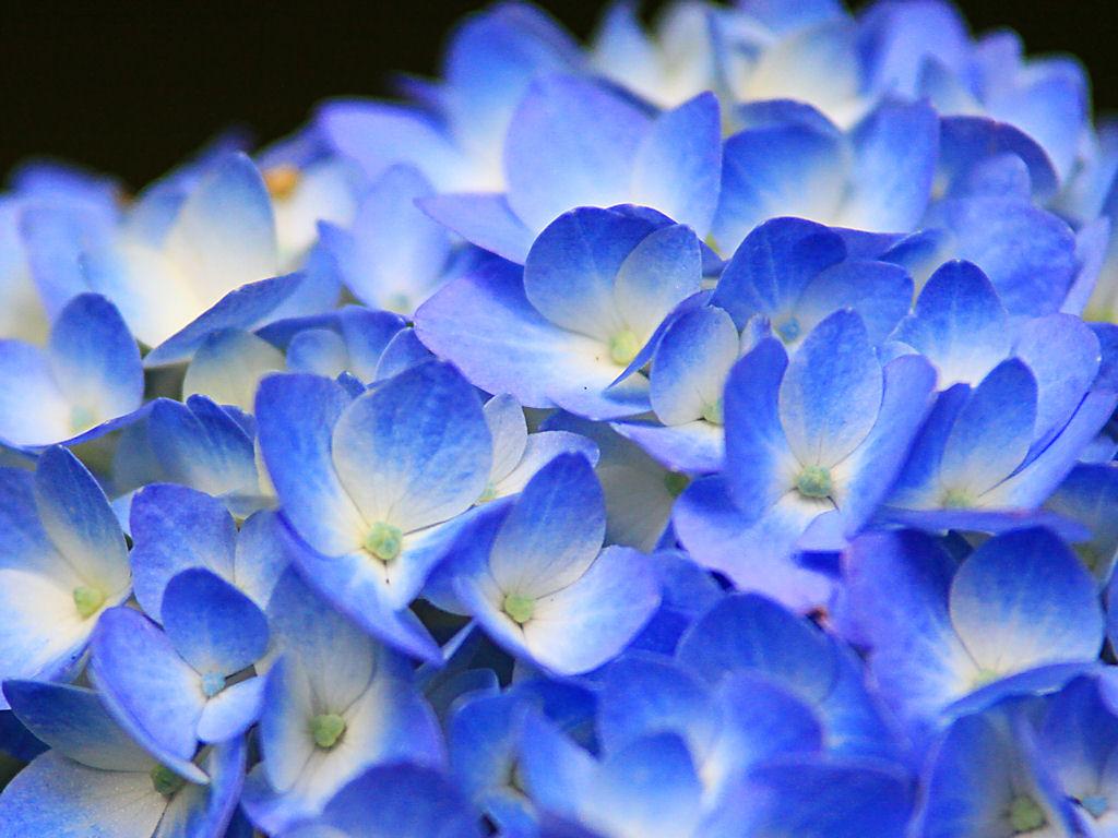 壁紙アジサイの花