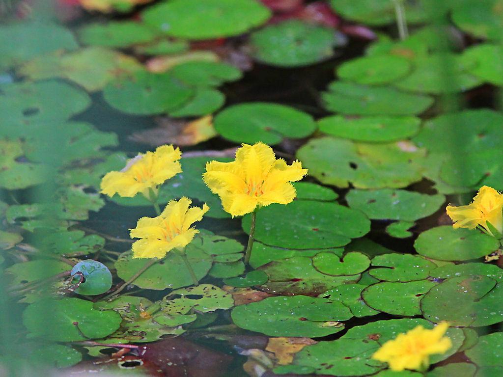 壁紙アサザの花