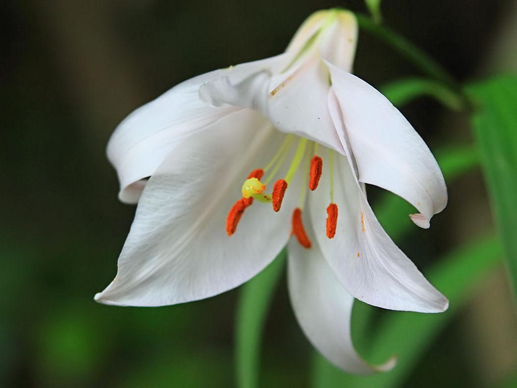 壁紙ササユリの花