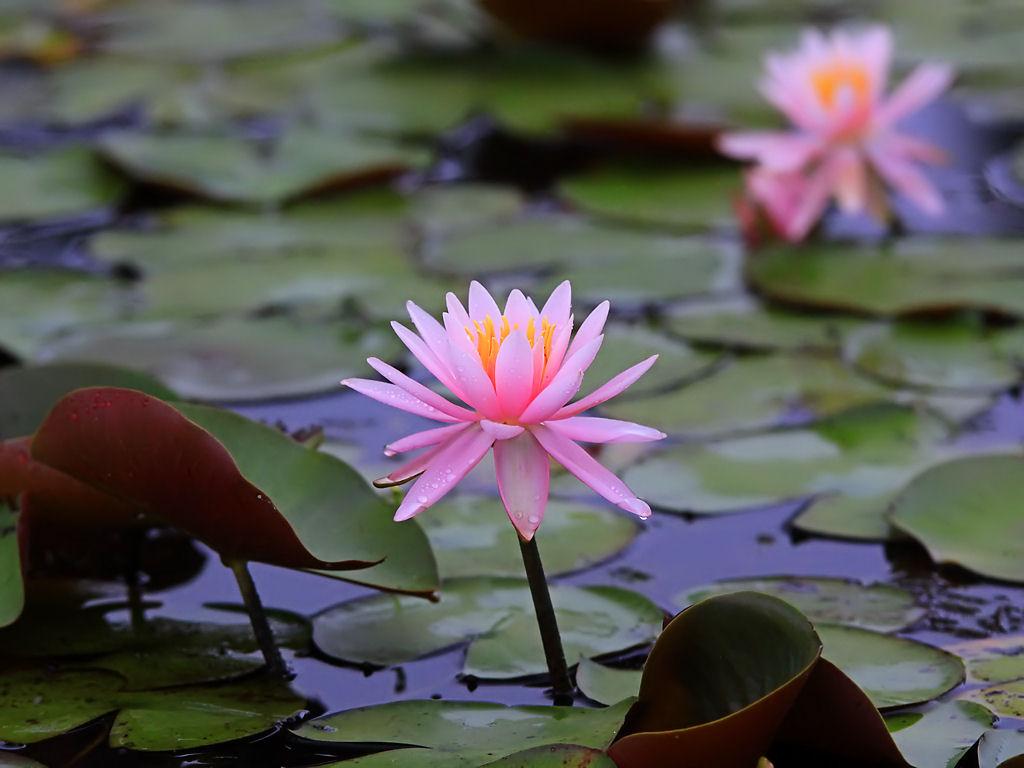 壁紙睡蓮の花
