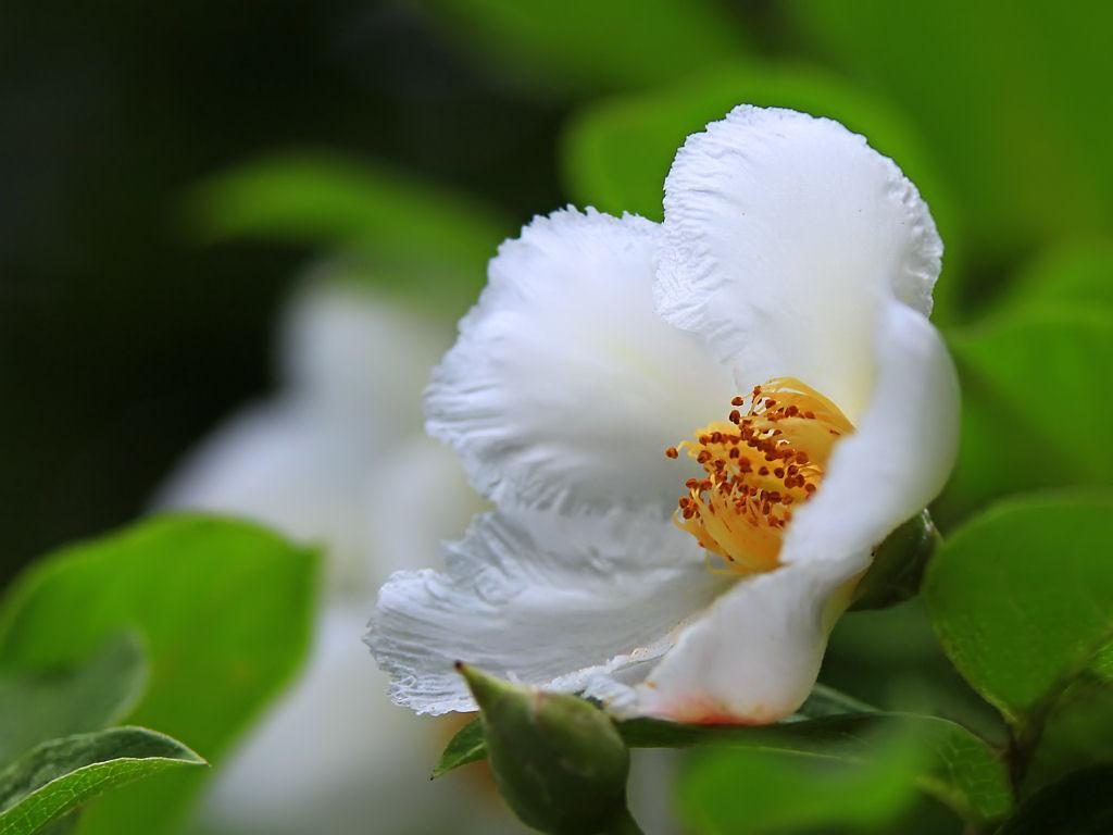 壁紙沙羅の花