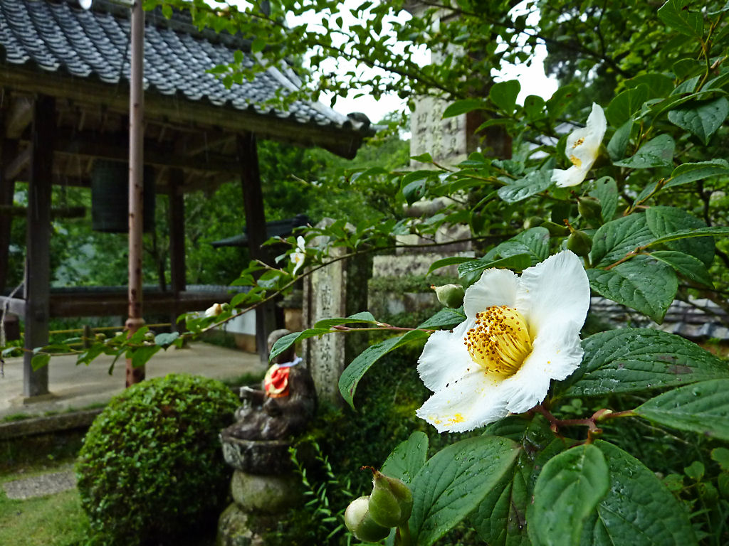 壁紙 應聖寺と沙羅の花